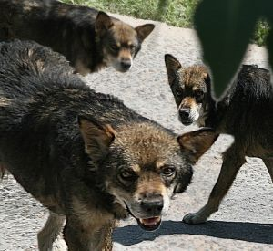 В Смоленске стая собак загрызла женщину