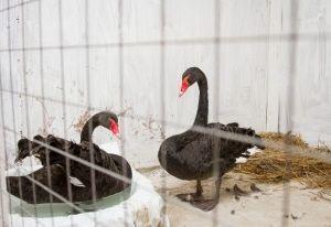 Лебедей из Лопатинского сада поселили в вольер за 50 000 рублей