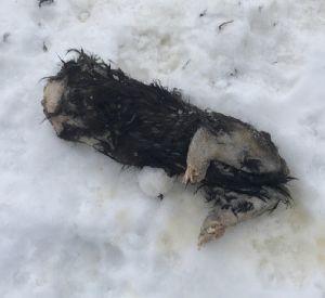 В Смоленской области нашли труп обезглавленного животного