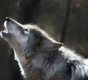 В Смоленском поозерье ликвидировали еще одного волка-убийцу
