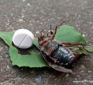 Смоленщина усеяна мёртвыми майскими жуками. В чём дело?
